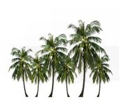 Close up coconut palm tree isolated on white background. Group of coconut palm tree Thai fruit ingredient of food and dessert and drinks growing up in the stock photo