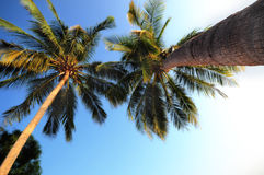 Close-up coconut palm trees from trunk to treetop Stock Photo