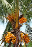 Close up on coconut tree with a bunch of yellow fr Royalty Free Stock Photos