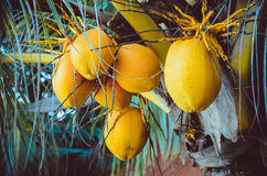 Close up coconut tree with bunch of yellow fruits hanging. Close up on coconut tree with a bunch of yellow fruits hanging Stock Photography