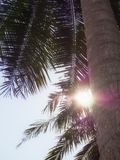 Close Up Coconut tree , Sunny day . Sunlight background Stock Photo