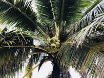 Close up of coconut tree wallpaper Stock Images