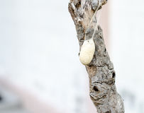 Close up cocoon on old branch Royalty Free Stock Photos