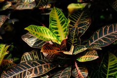 Close-up of codiaeum variegatum garden croton plant. Macro photography of nature royalty free stock photos