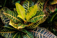 Close-up of codiaeum variegatum garden croton tropical plant. Macro photography of nature royalty free stock photo