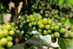 Close up coffee plants tree Stock Photo