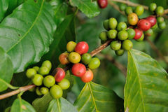 Close up coffee plants tree Stock Photography
