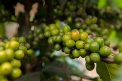 Close up coffee plants tree Royalty Free Stock Photos