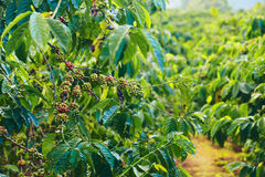Coffee bushes Royalty Free Stock Photography