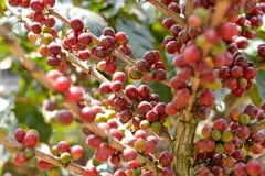 Coffee on tree Royalty Free Stock Images