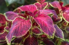 Close up of Coleus leaves. Coleus de blume Coleus blumei Benth Royalty Free Stock Photo