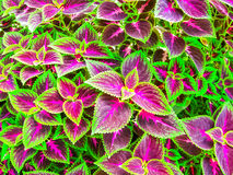 Close up of Coleus leaves. Painted nettle, Flame nettle Royalty Free Stock Images