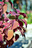 Close up of Coleus leaves (Painted nettle,Flame nettle ). Stock Photo