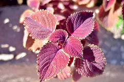 Close up of Coleus leaves (Painted nettle,Flame nettle ). Royalty Free Stock Photography