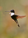 Close-up of Collared Inca. A close-up of a male Collared Inca (Coeligena torquata) in hovering flight Stock Photos