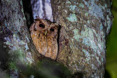 Close up of Collared scops owl Stock Photography