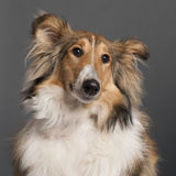 Close-up of Collie Royalty Free Stock Photos