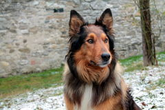 Close up of collie in the snow. Close up of a beautiful  collie in the snow Stock Images