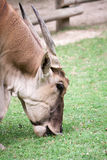 Close-up of a Collon Eland. Eating grass royalty free stock images