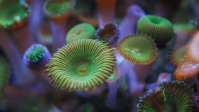 Close up of a colony of green zoanthid polyps. In an aquarium in Hawaii stock video
