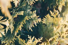Close up of color gradients of Juniper leaves with Film look filter. Close up of color gradients yellow and green color of Juniper leaves with Film look filter royalty free stock photos
