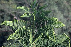 Star Pine Norfolk Pine Araucaria Heterophylla Tree stock images
