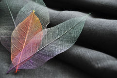 Close up Color Skeleton Leaves Stock Photo
