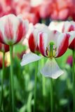 Detail color tulips with beauty blur background Royalty Free Stock Image