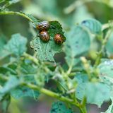 Close-up Colorado potato beetle on the green leaves of potatoes.  royalty free stock image