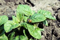 Close-up of the Colorado potato beetle on young leaves of potato stock images