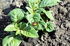 Close-up of the Colorado potato beetle on young leaves of potato royalty free stock photos