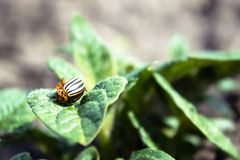 Close-up of the Colorado potato beetle on young leaves of potato royalty free stock photography