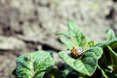 Close-up of the Colorado potato beetle on young leaves of potato stock image