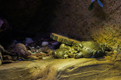 Close up on Colorado River Toat frog Stock Image