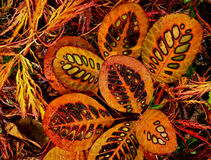 Close-up of colored patterns in beautiful autumn l. Bright colored leaves of orange and yellow on top of Japanese maple tree leaves stock photography