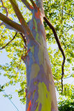 Close up of colorful abstract pattern of Rainbow Eucalyptus tree Stock Photo
