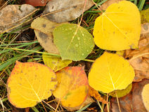 Close-up of a Colorful Aspen Leaves Stock Photo