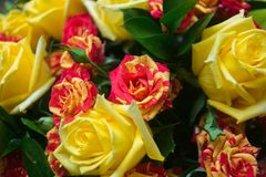 Close-up of colorful assorted roses Royalty Free Stock Images