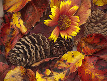 Close up of colorful autumn leaves and cones Stock Images