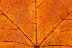 Close up of colorful autumnal maple leaf Royalty Free Stock Photo
