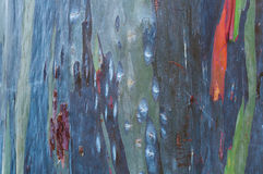 Close up colorful bark of the rainbow eucalyptus royalty free stock images