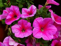 Close up of colorful blooming petunia flowers, natural background. stock photo