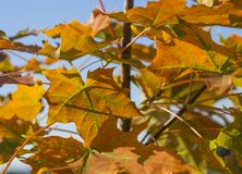 Close up colorful bright orange maple tree autumn leaves on blue Royalty Free Stock Image
