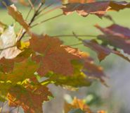 Close up colorful bright orange maple tree autumn leaves on boke Stock Photos