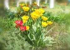 Close-up colorful bright yellow and red flowers tulips in spring garden with birch trees. Flower bed on a sunny day. Beautiful flo. Ral background for banner or royalty free stock photos