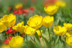 Close-up colorful bright yellow and red flowers tulips in spring garden. Flower bed on a sunny day. Beautiful floral background fo royalty free stock photo