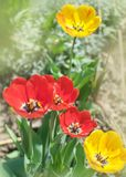 Close-up colorful bright yellow and red flowers tulips in spring garden. Flowering flower bed on a sunny day. Beautiful floral blu. Rred background stock photography