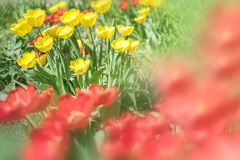 Close-up colorful bright yellow and red flowers tulips in spring garden. Flowering flower bed on a warm sunny summer day. Beautifu. L floral blurred background stock image