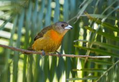 Cherrie`s Tanager Ramphocelus costaricensis Panama. Close up of a colorful brown and orange female songbird perching on a branch in Boquete, Chiriqui Province Stock Images