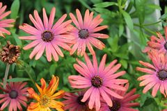 COLORFUL BUNCH OF GERBER DAISIES stock photography
